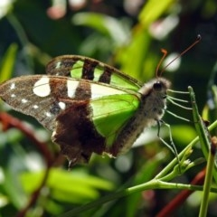 Graphium macleayanum (Macleay's Swallowtail) at ANBG - 15 Mar 2018 by RodDeb