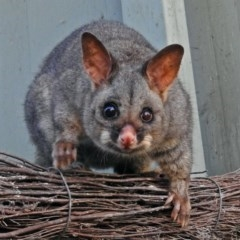 Trichosurus vulpecula (Common Brushtail Possum) at ANBG - 15 Mar 2018 by RodDeb