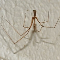 Pholcus phalangioides (Daddy longlegs spider) at ANBG - 15 Mar 2018 by RodDeb