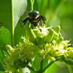 Xylocopa aeratus (Metallic Green Carpenter Bee) at ANBG - 15 Mar 2018 by RodDeb