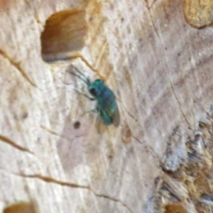 Chrysididae sp. (family) at ANBG - 15 Mar 2018