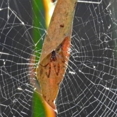 Phonognatha graeffei (Leaf-curling spider) at ANBG - 15 Mar 2018 by RodDeb