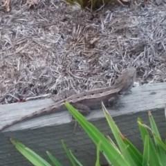Amphibolurus muricatus (Jacky Lizard) at Forde, ACT - 4 Feb 2018 by jmhatley