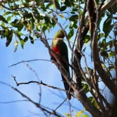 Alisterus scapularis (Australian King-parrot) at Ben Boyd National Park - 13 Mar 2018 by RossMannell