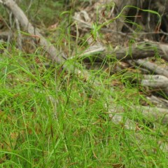 Caustis flexuosa at Mogo State Forest - 16 Mar 2018