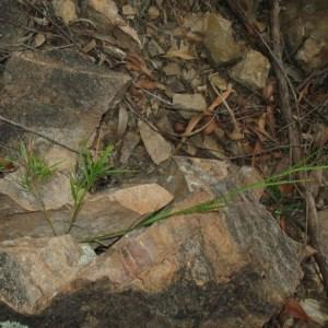 Cleistochloa rigida at Mogo State Forest - 16 Mar 2018