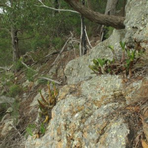 Dendrobium speciosum var. speciosum at Mogo State Forest - 16 Mar 2018
