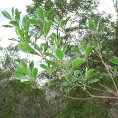 Dodonaea rhombifolia (Broad-leaf Hop-Bush) at Mogo State Forest - 16 Mar 2018 by JackieMiles