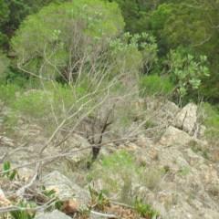 Dodonaea rhombifolia at Mogo State Forest - 16 Mar 2018