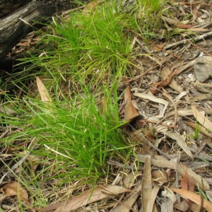 Lomandra confertifolia subsp. similis at Mogo State Forest - 16 Mar 2018