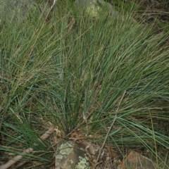 Lomandra confertifolia subsp. rubiginosa at Mogo State Forest - 16 Mar 2018 by JackieMiles