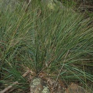 Lomandra confertifolia subsp. rubiginosa at Mogo State Forest - 16 Mar 2018