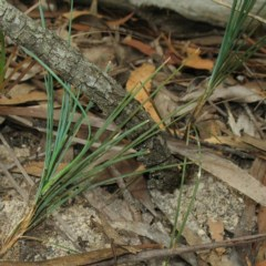 Lomandra glauca (Pale Mat-rush) at Mogo State Forest - 16 Mar 2018 by JackieMiles