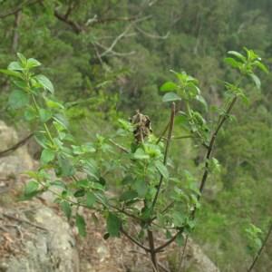 Prostanthera rotundifolia at Mogo State Forest - 16 Mar 2018
