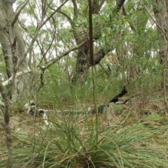 Xanthorrhoea concava (Grass Tree) at Mogo State Forest - 16 Mar 2018 by JackieMiles