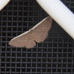 Idaea costaria (White-edged Wave) at Higgins, ACT - 17 Mar 2018 by Alison Milton