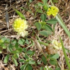 Trifolium campestre (Hop Clover) at Bruce Ridge - 11 Nov 2017 by PeteWoodall