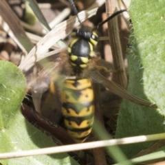 Vespula germanica (European wasp) at Jerrabomberra Wetlands - 16 Mar 2018 by Alison Milton