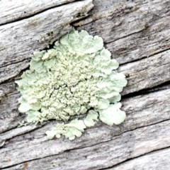 Parmeliaceae (A lichen family) at Lyneham, ACT - 11 Nov 2017 by PeteWoodall