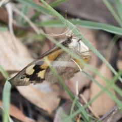 Heteronympha merope (Common Brown) at Jerrabomberra Wetlands - 16 Mar 2018 by Alison Milton