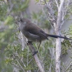 Malurus cyaneus (Superb Fairywren) at Jerrabomberra Wetlands - 16 Mar 2018 by Alison Milton