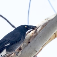 Strepera graculina (Pied Currawong) at Jerrabomberra Wetlands - 16 Mar 2018 by Alison Milton