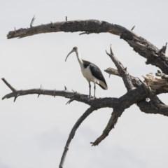 Threskiornis spinicollis (Straw-necked Ibis) at Jerrabomberra Wetlands - 16 Mar 2018 by Alison Milton