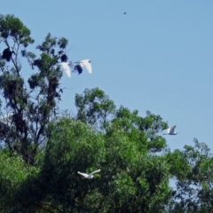 Bubulcus ibis at Jerrabomberra Wetlands - 17 Mar 2018