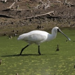 Platalea regia (Royal Spoonbill) at Jerrabomberra Wetlands - 16 Mar 2018 by Alison Milton