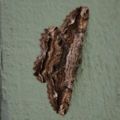 Scioglyptis lyciaria (White-patch Bark Moth) at Jerrabomberra Wetlands - 16 Mar 2018 by Alison Milton