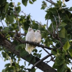 Cacatua sanguinea (Little Corella) at Commonwealth & Kings Parks - 16 Mar 2018 by Alison Milton