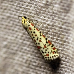 Utetheisa pulchelloides (Heliotrope Moth) at O'Connor, ACT - 17 Mar 2018 by ibaird