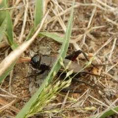 Teleogryllus commodus (Black Field Cricket) at Mount Painter - 14 Mar 2018 by CathB