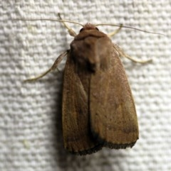 Proteuxoa porphyrescens (A Noctuid moth) at O'Connor, ACT - 17 Mar 2018 by ibaird