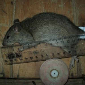 Rattus rattus at Brogo, NSW - 19 Mar 2018