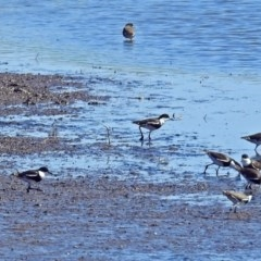 Erythrogonys cinctus (Red-kneed Dotterel) at Jerrabomberra Wetlands - 19 Mar 2018 by RodDeb