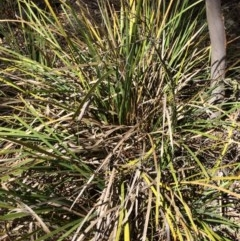 Lomandra longifolia (Spiny-headed Mat-rush, Honey Reed) at Captains Flat, NSW - 12 Mar 2018 by alex_watt