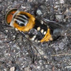 Scaptia sp. (genus) at ANBG - 24 Nov 2017