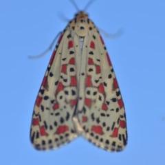Utetheisa pulchelloides (Heliotrope Moth) at Wamboin, NSW - 18 Mar 2018 by natureguy