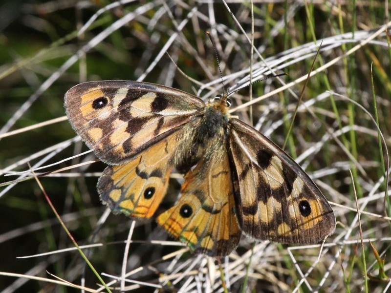 Heteronympha penelope at Namadgi National Park - 17 Mar 2018