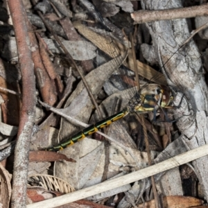 Hemicordulia australiae at Gungaderra Grasslands - 20 Mar 2018