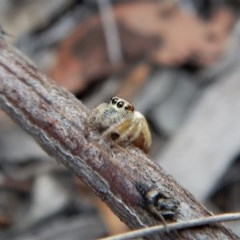 Opisthoncus sp. (genus) (Unidentified Opisthoncus jumping spider) at Aranda Bushland - 20 Mar 2018 by CathB
