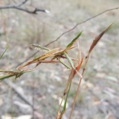 Cymbopogon refractus (Barbed-Wire Grass) at Mount Mugga Mugga - 21 Mar 2018 by Mike