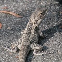 Amphibolurus muricatus (Jacky Lizard) at Paddys River, ACT - 25 Jan 2018 by SWishart