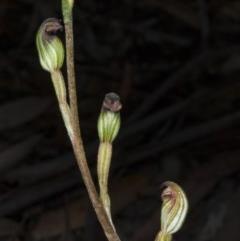 Speculantha rubescens (Blushing tiny greenhood) at Gungaderra Grasslands - 21 Mar 2018 by DerekC