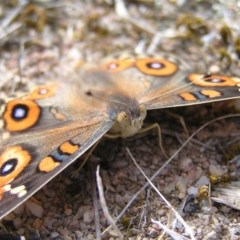 Junonia villida (Meadow Argus) at Mount Taylor - 21 Mar 2018 by MatthewFrawley
