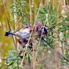 Carduelis carduelis (European Goldfinch) at Jerrabomberra Wetlands - 22 Mar 2018 by RodDeb