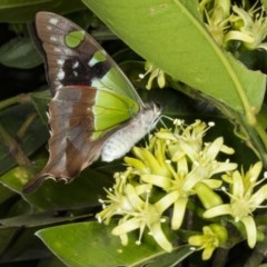 Graphium macleayanum (Macleay's Swallowtail) at ANBG - 22 Mar 2018 by DerekC