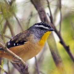 Pardalotus punctatus (Spotted Pardalote) at Mount Taylor - 21 Mar 2018 by MatthewFrawley