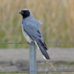 Coracina novaehollandiae (Black-faced Cuckooshrike) at Jerrabomberra Wetlands - 23 Mar 2018 by RodDeb
